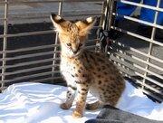 サーバル・ユカの赤ちゃん、すくすく成長 愛媛・とべ動物園