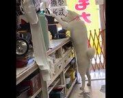 背伸びしてレジ打ち… 夢中で連打する見習い店員の秋田犬、「値段マシマシ」でも許してしまう愛らしさ