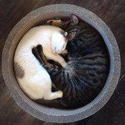 カフェラテみたいに溶け合いそう 丸まって寝る白と黒の猫が可愛いと話題に
