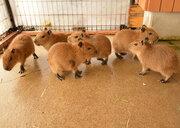 カピバラの赤ちゃん9頭が誕生 那須どうぶつ王国で4月29日にお披露目