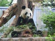 上野動物園のパンダ「シンシン」が出産