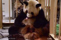 良浜と赤ちゃんパンダ