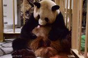 ジャイアントパンダの赤ちゃん誕生 繁殖の世界最高齢を記録 和歌山・アドベンチャーワールド