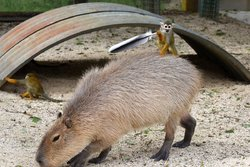 画像:カピバラの上で羽をくわえて得意げなリスザル 他のリスザルとの羽争奪戦の末、悲劇に見舞われる