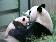 赤ちゃんパンダが生後100日、少し歩けるように 上野動物園「名前発表は近日中」