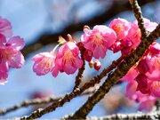 暖かい寒の内 静岡県では土肥桜の開花進む