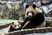 ジャイアントパンダの赤ちゃん「結浜」 親子そろって一般公開