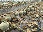 除草剤まかれメロン6600玉被害の寺坂農園 再起をかけてクラウドファンディング