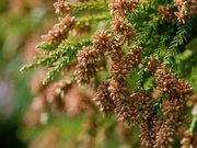 東京都がスギ花粉の飛散開始を発表 ウェザーニュース見解では2月中旬から飛散が本格化