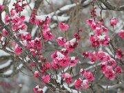 関東 雪に凍える草花たち