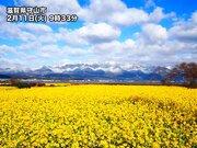 黄色い早春の息吹 カンザキハナナが見頃に