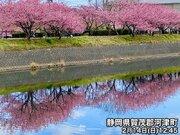 静岡県で河津桜が見頃に 一足先に「サクラサク」