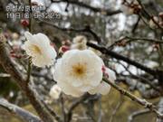 古都にも春の足音 京都で梅が開花