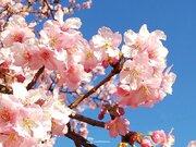 三連休におすすめ 関東周辺の河津桜スポット