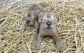画像:多摩動物公園のライオンの赤ちゃん「ルーク」と「レイア」が死亡