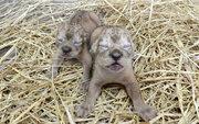 多摩動物公園のライオンの赤ちゃん「ルーク」と「レイア」が死亡