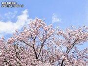東京 青空に映える満開の早咲き桜