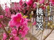 七十二候「桃始笑」 春の花として知られる桜・梅・桃の違いは?