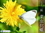 七十二候「菜虫化蝶(なむしちょうとなる)」 寿命が短い・・・モンシロチョウの一生とは