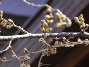 東京の桜カウントダウン ピンクの花びらがチラリ