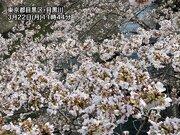 東京の桜が満開に 今週後半は桜に試練の雨予報