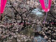 東京の桜 今週中頃にも満開へ