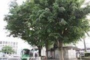 東村山市、「志村けんの木」への献花自粛呼びかけ 新型コロナ感染拡大防止のため