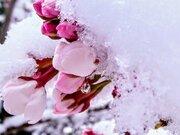 福島・信夫山の桜、つぼみに雪で開花足踏み