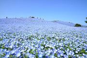 丘一面に広がる青い花絨毯 ネモフィラが見ごろ迎える