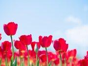 """上品な春の花 チューリップ 開き具合で""""気温""""が分かる!?"""