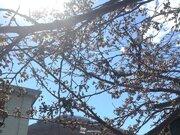 桜前線、津軽海峡を渡る 北海道の最南端・松前町が桜開花を発表