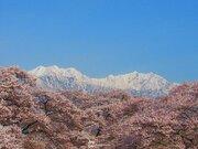 青と白と桜色 長野で見られる今だけの美しいコラボレーション
