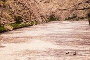 まるでピンクの絨毯 絶景の青森・弘前公園 花筏