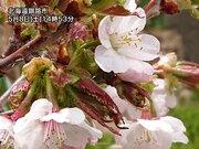 稚内と釧路で今日桜が開花 今年の桜前線はゴール到達