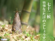 七十二候「竹笋生(たけのこしょうず)」 竹は草と木どっち?