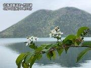 最も遅いサクラサク 北海道・然別湖畔のミヤマザクラ開花