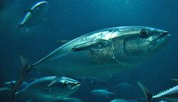 画像:葛西臨海水族園がクロマグロ80尾の導入を決定 6月22日から鑑賞可能に