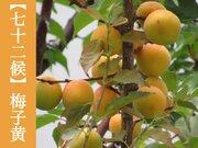 七十二候「梅子黄」 梅の熟す季節