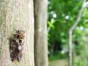 芭蕉の「蝉の声」はニイニイゼミ?
