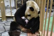 パンダの赤ちゃん、9月13日から一般公開 和歌山・アドベンチャーワールド