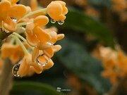 キンモクセイの香り 昨年より北・東日本で早まる