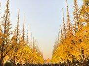 神宮外苑いちょう並木は色づきが遅れ気味 今週末も見頃続く