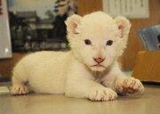希少なホワイトライオンの赤ちゃんが誕生 東北サファリパークで12月17日からお披露目