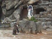 画像:フルルのパネルを見つめる東武動物公園のフンボルトペンギン「グレープ」くん