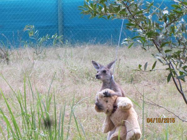 赤ちゃんカンガルーがテディベアを抱きしめて離さない2