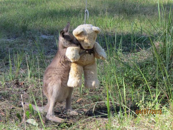 赤ちゃんカンガルーがテディベアを抱きしめて離さない1