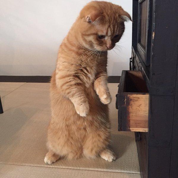 タンスを開けて悪さする猫4