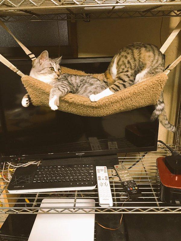 ハンモックにお腹だけ乗せて宙づりになった猫