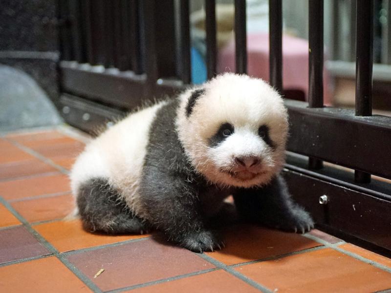 70日齢の赤ちゃんパンダ(8月21日)