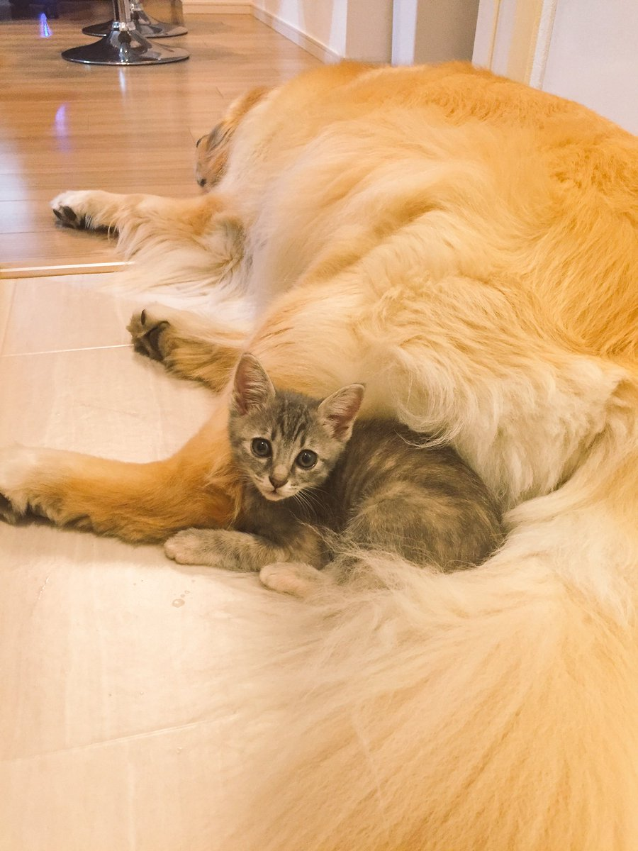子猫とゴールデンレトリバーが打ち解ける瞬間